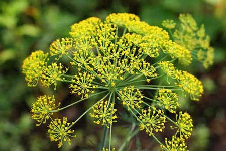 flores da erva