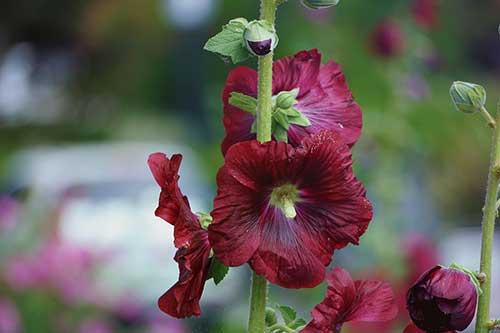 flor medicinal