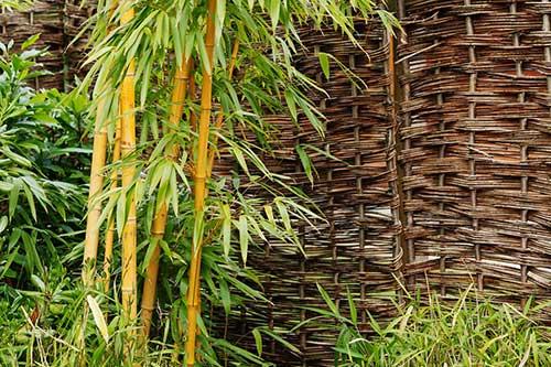 chá de bambu